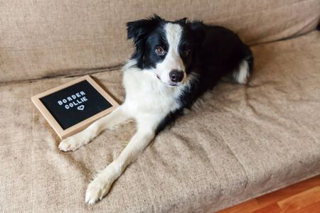 Funny portrait of cute puppy dog on couch with letter board inscription BORDER COLLIE word. New lovely member of family little dog at home gazing and waiting for reward. Pet care and animals concept 스톡 콘텐츠