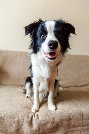 Funny portrait of cute smilling puppy dog border collie on couch. New lovely member of family little dog at home gazing and waiting for reward. Pet care and animals concept 스톡 콘텐츠