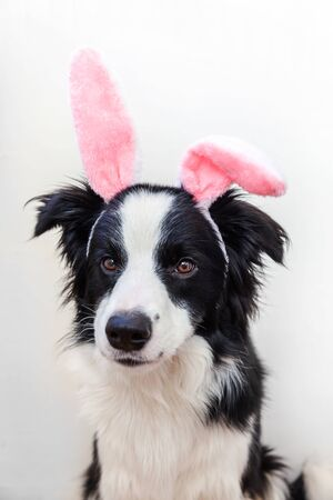 Happy Easter concept. Funny portrait of cute smilling puppy dog border collie wearing easter bunny ears isolated on white background. Preparation for holiday. Spring greeting card