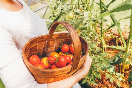 Gardening and agriculture concept. Woman farm worker hands with basket picking fresh ripe organic tomatoes. Greenhouse produce. Vegetable food production. Tomato growing in greenhouse
