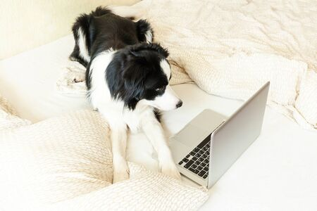 Mobile Office at home. Funny portrait cute puppy dog border collie on bed working surfing browsing internet using laptop pc computer at home indoor. Pet life freelance business quarantine concept
