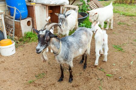 Cute chick goat relaxing in ranch farm in summer day. Domestic goats grazing in pasture and chewing, countryside background. Goat in natural eco farm growing to give milk and cheese Imagens