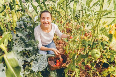 Gardening and agriculture concept. Young woman farm worker with basket picking fresh ripe organic tomatoes. Greenhouse produce. Vegetable food production. Tomato growing in greenhouse
