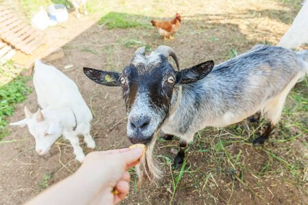 Cute goat relaxing in ranch farm in summer day eating with hand. Domestic goats grazing in pasture and chewing, countryside background. Goat in natural eco farm growing to give milk and cheese Stock fotó