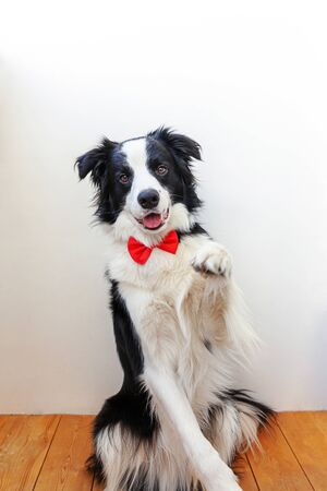 Funny studio portrait puppy dog border collie in bow tie as gentleman or groom on white background. New lovely member of family little dog looking at camera. Funny pets animals life concept Stock fotó