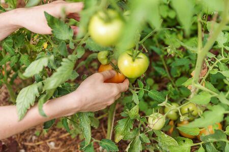 Gardening and agriculture concept. Woman farm worker hand picking fresh ripe organic tomatoes. Greenhouse produce. Vegetable food production. Tomato growing in greenhouse Stock fotó