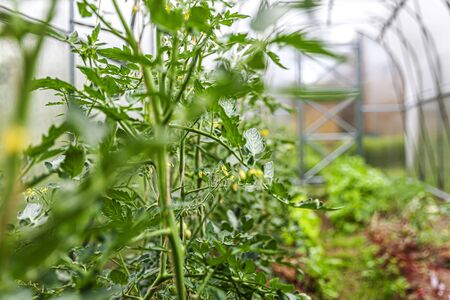 Gardening and agriculture concept. Organic tomatoes growing in greenhouse. Greenhouse produce. Vegetable food production Stock fotó