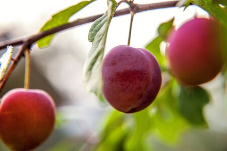 Perfect red plum growing on tree in organic plum orchard. Autumn fall view on country style garden. Healthy food vegan vegetarian baby dieting concept. Local garden produce clean food