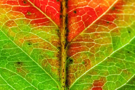 Closeup autumn fall extreme macro texture view of red orange green wood sheet tree leaf glow in sun background. Inspirational nature october or september wallpaper. Change of seasons concept Standard-Bild