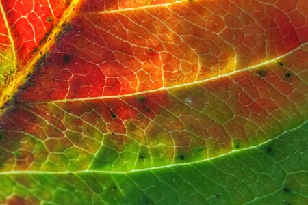 Closeup autumn fall extreme macro texture view of red orange green wood sheet tree leaf glow in sun background. Inspirational nature october or september wallpaper. Change of seasons concept