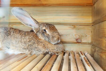 Small feeding brown rabbit on animal farm in rabbit-hutch, barn ranch background. Bunny in hutch on natural eco farm. Modern animal livestock and ecological farming concept