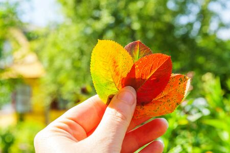 Closeup natural autumn fall view of woman hand holding red orange leaves on blurred green background in garden or park. Inspirational nature october or september wallpaper. Change of seasons concept