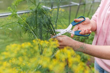 Gardening and agriculture concept. Female farm worker hand harvesting green fresh ripe organic dill in garden bed. Vegan vegetarian home grown food production. Woman farmer picking fragrant herb Standard-Bild