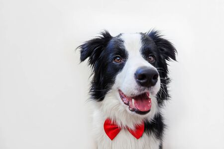 Funny studio portrait puppy dog border collie in bow tie as gentleman or groom on white background. New lovely member of family little dog looking at camera. Funny pets animals life concept Foto de archivo