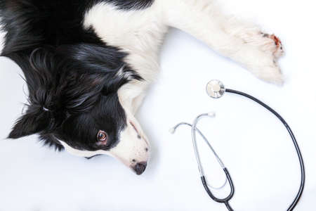 Puppy dog border collie and stethoscope isolated on white background. Little dog on reception at veterinary doctor in vet clinic. Pet health care and animals concept