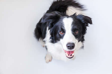 Funny studio portrait of cute smiling puppy dog border collie isolated on white background. New lovely member of family little dog gazing and waiting for reward. Funny pets animals life concept
