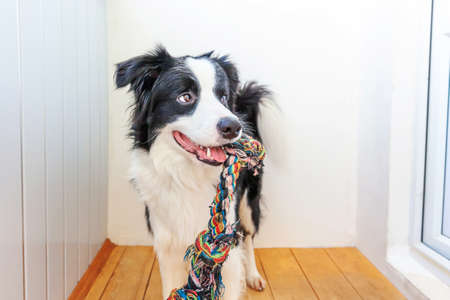 Funny portrait of cute smiling puppy dog border collie holding colourful rope toy in mouth. New lovely member of family little dog at home playing with owner. Pet care and animals concept