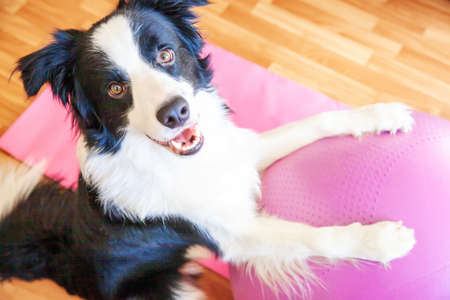 Funny dog border collie practicing yoga lesson with gym ball indoor. Puppy doing yoga asana pose on pink yoga mat at home. Calmness relax concept. Working out at home