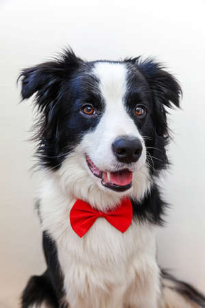 Funny studio portrait puppy dog border collie in bow tie as gentleman or groom isolated on white background. New lovely member of family little dog looking at camera. Funny pets animals life concept Zdjęcie Seryjne