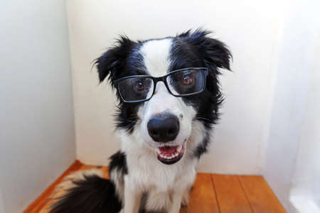 Studio portrait of smiling puppy dog border collie in eyeglasses on white background at home. Little dog gazing in glasses indoor. Back to school. Cool nerd style. Funny pets animals life concept Zdjęcie Seryjne