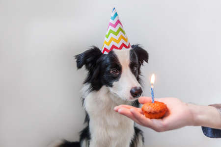 Funny portrait of cute smiling puppy dog border collie wearing birthday silly hat looking at cupcake holiday cake with one candle isolated on white background. Happy Birthday party concept Zdjęcie Seryjne