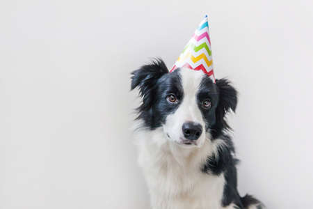 Funny portrait of cute smiling puppy dog border collie wearing birthday silly hat looking at camera isolated on white background. Happy Birthday party concept. Funny pets animals life