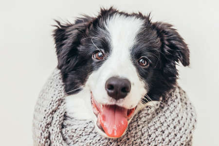 Funny studio portrait of cute smiling puppy dog border collie wearing warm clothes scarf around neck isolated on white background. Winter or autumn portrait of little dog