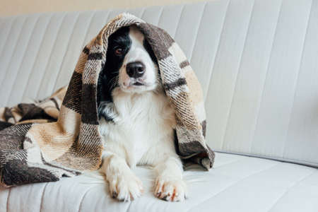 Funny puppy dog border collie lying on couch under plaid indoors. Lovely member of family little dog at home warming under blanket in cold fall autumn winter weather. Pet animal life concept Zdjęcie Seryjne