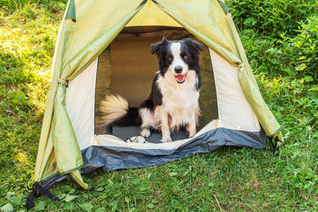 Outdoor portrait of cute funny puppy dog border collie sitting inside in camping tent. Pet travel, adventure with dog companion. Guardian and camping protection. Trip tourism concept