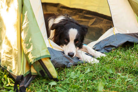 Outdoor portrait of cute funny puppy dog border collie lying down inside in camping tent. Pet travel, adventure with dog companion. Guardian and camping protection. Trip tourism concept Zdjęcie Seryjne