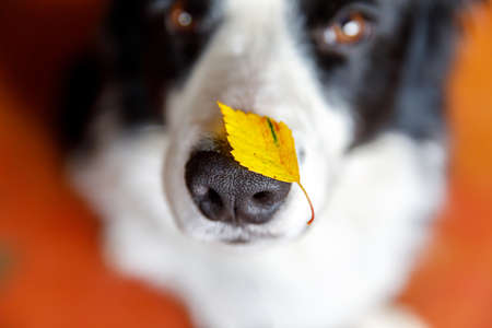 Outdoor portrait of cute funny puppy dog border collie with yellow fall leaf on nose. Dog sniffing autumn leaves. Close Up, selective focus. Funny pet concept