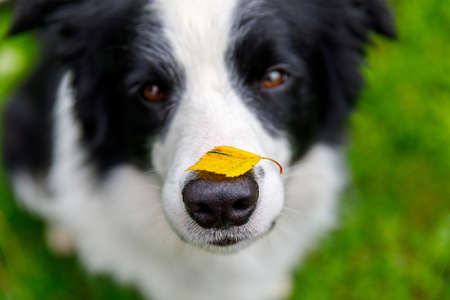 Outdoor portrait of cute funny puppy dog border collie with yellow fall leaf on nose sitting in autumn park. Dog sniffing autumn leaves on walk. Close Up, selective focus. Funny pet concept