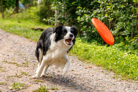 Outdoor portrait of cute funny puppy dog border collie catching toy in air. Dog playing with flying disk. Sports activity with dog in park outside Zdjęcie Seryjne