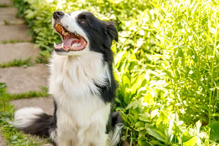 Outdoor portrait of cute smiling puppy border collie sitting on grass, park background. Little dog with funny face in sunny summer day outdoors. Pet care and funny animals life concept Zdjęcie Seryjne