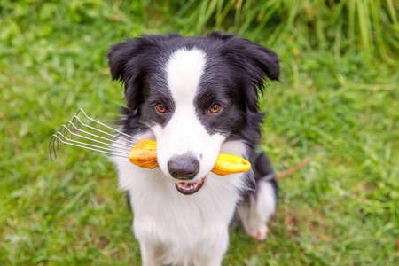 Outdoor portrait of cute smiling dog border collie holding rake on garden background. Funny puppy as gardener fetching rake for weeding. Gardening and agriculture concept