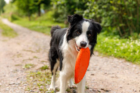 Outdoor portrait of cute funny puppy dog border collie catching flying disc in air. Dog playing with flying disk. Sports activity with dog in park outside Zdjęcie Seryjne