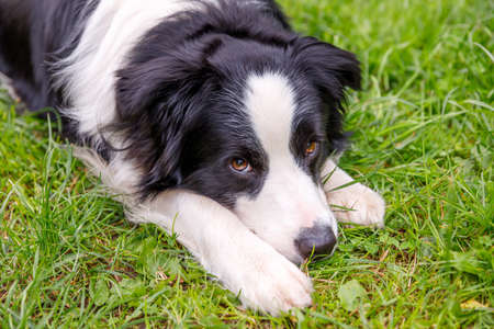 Outdoor portrait of cute smiling puppy border collie lying down on grass, park background. Little dog with funny face in sunny summer day outdoors. Pet care and funny animals life concept Zdjęcie Seryjne