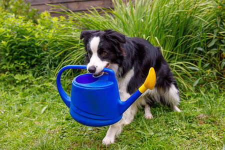Outdoor portrait of cute smiling dog border collie holding watering can on garden background. Funny puppy as gardener fetching watering can for irrigation. Gardening and agriculture concept Zdjęcie Seryjne
