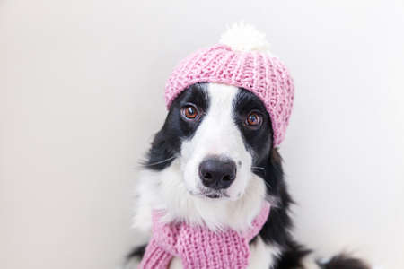Funny studio portrait of cute smiling puppy dog border collie wearing warm knitted clothes scarf, hat isolated on white background. Winter or autumn portrait of new lovely member of family little dog Archivio Fotografico