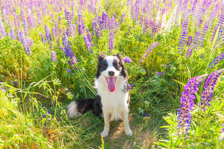 Outdoor portrait of cute smiling puppy border collie sitting on grass, violet flower background. Little dog with funny face in sunny summer day outdoors. Pet care and funny animals life concept