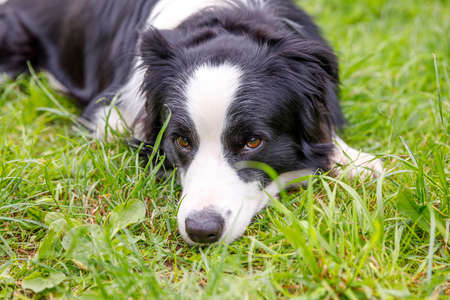 Outdoor portrait of cute smiling puppy border collie lying down on grass, park background. Little dog with funny face in sunny summer day outdoors. Pet care and funny animals life concept Archivio Fotografico