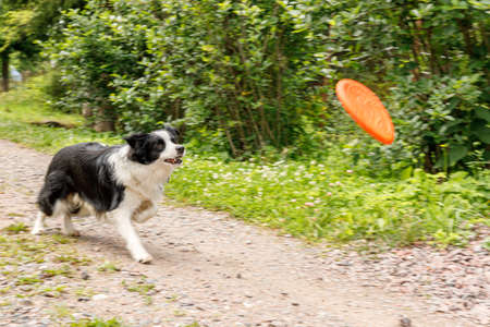 Outdoor portrait of cute funny puppy dog border collie catching toy in air. Dog playing with flying disk. Sports activity with dog in park outside Archivio Fotografico