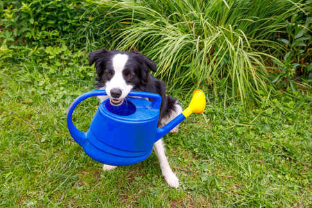 Outdoor portrait of cute smiling dog border collie holding watering can on garden background. Funny puppy as gardener fetching watering can for irrigation. Gardening and agriculture concept Archivio Fotografico