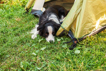 Outdoor portrait of cute funny puppy dog border collie lying down inside in camping tent. Pet travel, adventure with dog companion. Guardian and camping protection. Trip tourism concept Archivio Fotografico
