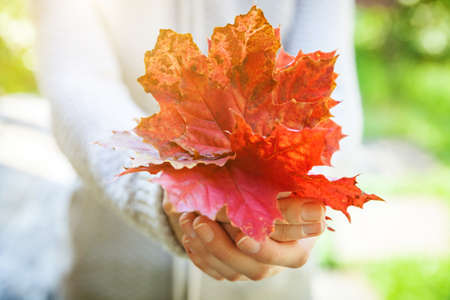Closeup natural autumn fall view woman hands holding red orange maple leaves on park background. Inspirational nature october or september wallpaper. Change of seasons concept
