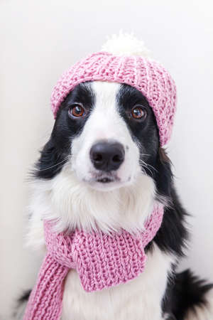 Funny studio portrait of cute smiling puppy dog border collie wearing warm knitted clothes scarf, hat isolated on white background. Winter or autumn portrait of new lovely member of family little dog