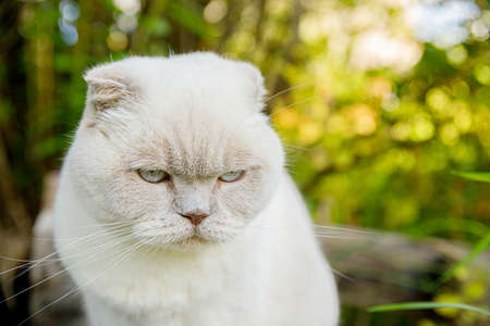 Funny portrait of short-haired domestic white kitten on green backyard background. British cat walking outdoors in garden on summer day. Pet care health and animals concept