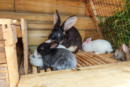 Many different small feeding rabbits on animal farm in rabbit-hutch, barn ranch background. Bunny in hutch on natural eco farm. Modern animal livestock and ecological farming concept