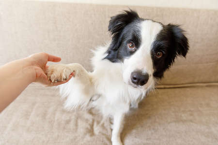 Funny portrait of cute puppy dog border collie on couch giving paw. Dog paw and human hand doing handshake. Owner training trick with dog friend at home indoors. friendship love support team concept