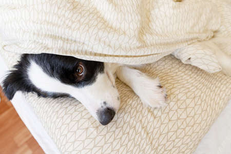 Funny portrait of cute smiling puppy dog border collie lay on pillow blanket in bed. New lovely member of family little dog at home lying and sleeping. Pet care and animals concept Stock fotó